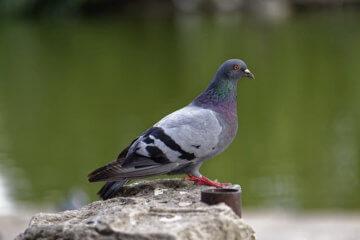 algoritme google pigeon